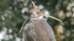 Saker falcon in a cap. Falco cherrug. Bird of prey Live Action