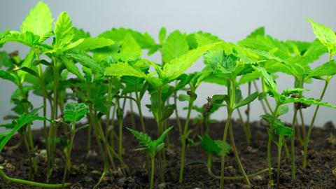 Marijuana Plant Growing ビデオ