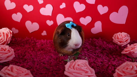 Valentine valentine s day cute pet animal rabbit lop concept Footage