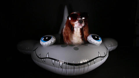 Cute dog on inflatable floating pool swimming ring kid 's swim toy Footage