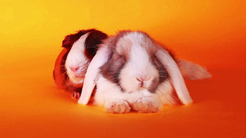 Animal,pet friends. Rabbit and guinea pig together Live Action