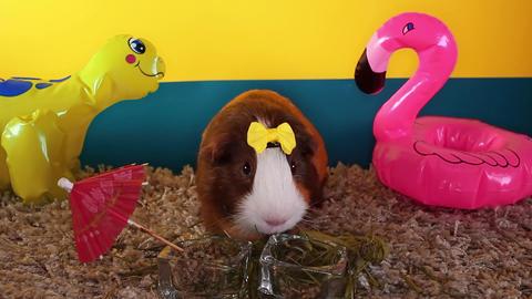 Warm hot weather summer beach decoration animal pet concept heat stroke guinea Live Action