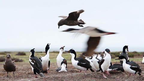 Rock Hopper Penguins Shot In The Falkland Islands GIF
