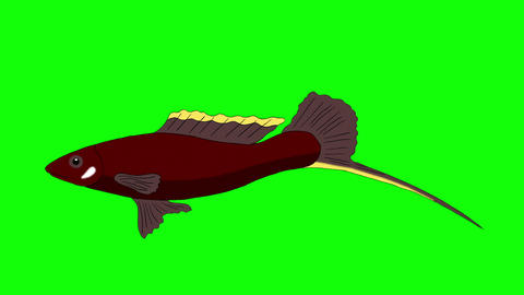 Big Brown Aquarium Fish Chroma Key looped Animation