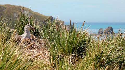 Nesting Albatross Shot On South Geogia Island Live Action