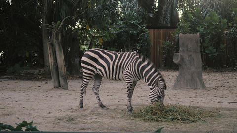 Zebra in zoo. African zebra in zoo eats and shakes her tail in 4k GIF