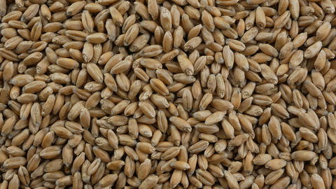 Processed organic wheat grains as agricultural background Footage