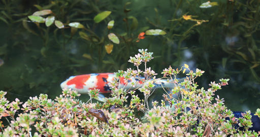 Swimming carp in the beautiful green pond in Gifu Japan autumn Footage