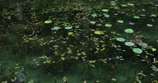 Lotus leaves in the beautiful green pond in Gifu Japan Footage