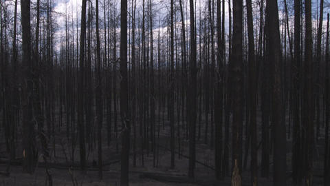 Leafless trees silhouetted against the sky in Yellowstone Footage