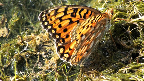 Close-up shot of orange butterfly at a swamp in Utah Live Action
