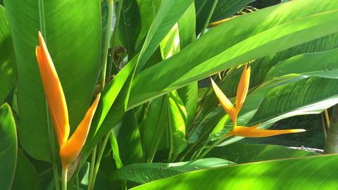 Strelitzia reginae or bird of paradise,is a species of flowering plant GIF