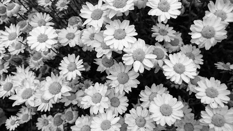 black and white marguerite Fotografía
