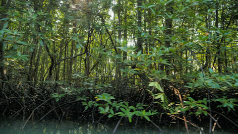 Mangrove forest at the river estuary the conserve sea nature environment Footage