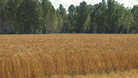 Golden autumn wheat farming field and beautiful forest GIF