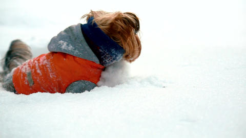 Yorkshire terrier stuck in deep snow. He gets out of the snow Footage