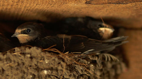 Chicks look at the frame, many adult chicks in one nest Stock Video Footage