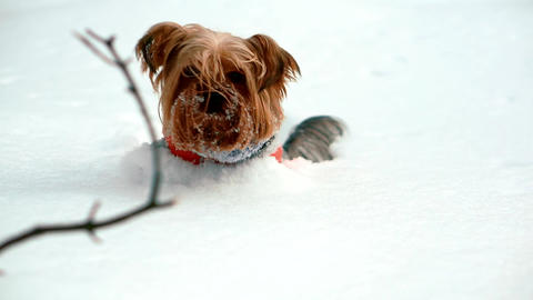 Yorkshire terrier stuck in deep snow. He gets out of the snow ビデオ