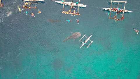 Whale shark eating fish whale feeding from boat in open sea. Aerial view from Footage