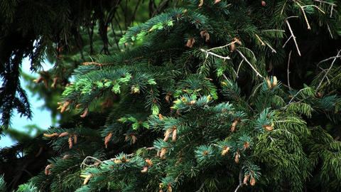 Static shot of pine tree branches in a forest in Utah Footage