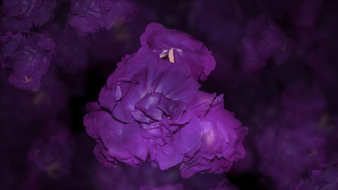 A violet grouping of wilted roses suddenly blooms into red ones Live Action