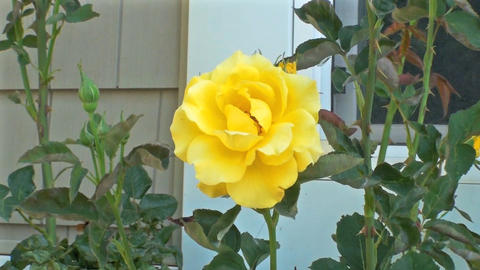 A perfect yellow rose sways in a gentle breeze Footage