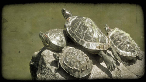 Turtles on rock. Vintage stylized video clip Footage