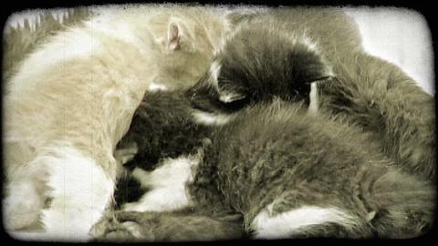 Kittens nurse. Vintage stylized video clip Footage