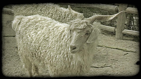 Mountain goat. Vintage stylized video clip Footage
