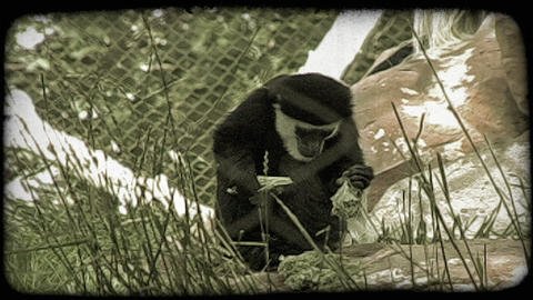 Monkey eats greens. Vintage stylized video clip Footage