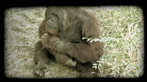 Orangutan sits. Vintage stylized video clip Footage