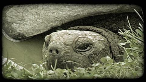 Turtle head. Vintage stylized video clip Footage