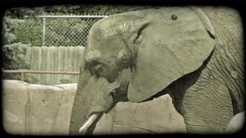 Elephant in zoo. Vintage stylized video clip Live Action
