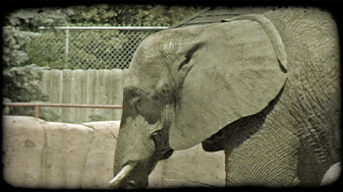 Elephant in zoo. Vintage stylized video clip Stock Video Footage