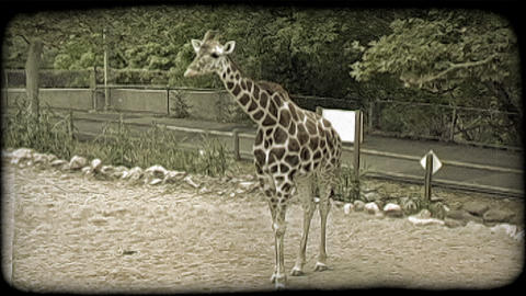 Giraffe chews on food. Vintage stylized video clip Footage