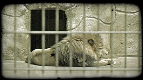 Lion at rest in zoo. Vintage stylized video clip Footage