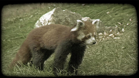 Red racoon walks on grass. Vintage stylized video clip Footage
