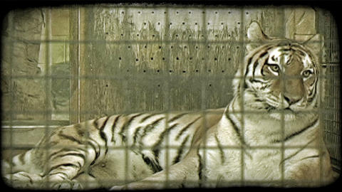 Tiger in cage. Vintage stylized video clip Footage