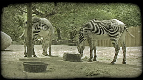 Zebras feed on grass. Vintage stylized video clip Footage