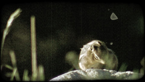 Squirrel on rock. Vintage stylized video clip Footage