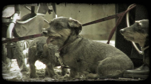 Park Puppies 1. Vintage stylized video clip Footage