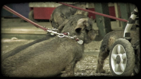 Park Puppies 2. Vintage stylized video clip Footage