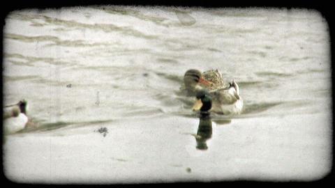 Ducks Paddle 2. Vintage stylized video clip Footage