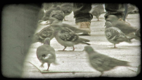 Pigeons. Vintage stylized video clip Footage