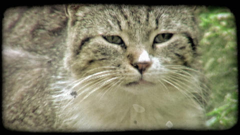 Cat Stare 1. Vintage stylized video clip Footage