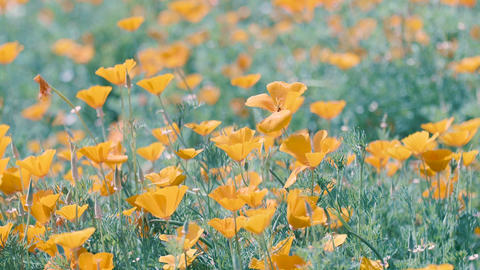 California Poppy Flowers,at Showa Memorial Park,Tokyo,Japan,Filmed in 4K Footage