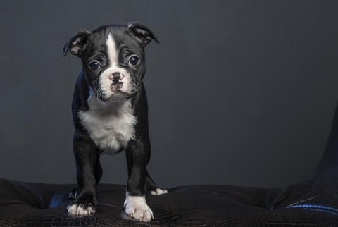 Boston terrier puppy フォト
