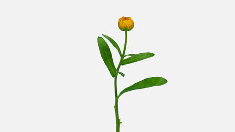 Time-lapse of opening calendula flower, 4K with ALPHA channel ビデオ