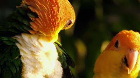 Sun Conure Parrots -Aratinga solstitialis- Footage
