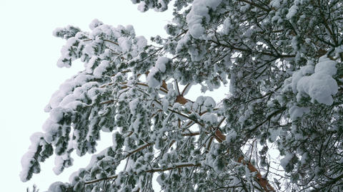 Slow motion shot of snow falling down from snowy pine tree Live Action